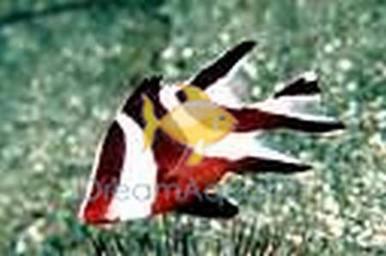 Emperor Red Snapper - Lutjanus sebae - Red Emperor Snapper Fish