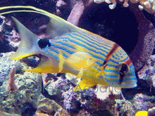Hifin Snapper - Symphorichthys spilurus - Threadfin - Majestic Snapper Fish