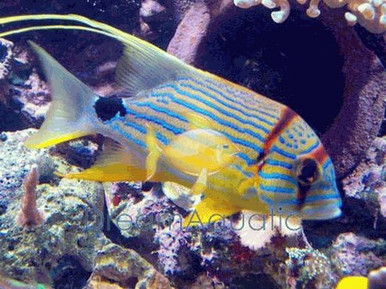 Hifin Snapper - Symphorichthys spilurus - Threadfin - Majestic Snapper Fish