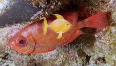 Glass Eye Squirrelfish - Heteropriacanthus cruentatus - Glass Eye Squirrel Fish
