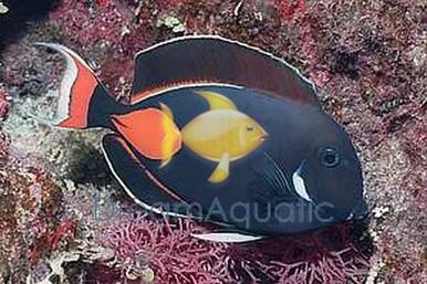 Achilles Tang (Adult) - Acanthurus achilles - Red-tailed Surgeon - Achilles Surgeonfish