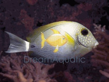 Maculiceps Tang - Acanthurus maculiceps - White Freckle Face Tang - Maculiceps Surgeon fish - Spot Face Tang