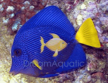 Purple Tang - Zebrasoma xanthurus - Yellowtail - Purple Sailfin Tang