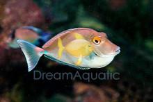 Unicorn Tang - Naso unicornis - Bluespine Unicornfish
