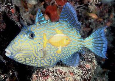 Blueline Trigger Fish - Pseudobalistes fuscus - Bluelined Triggerfish