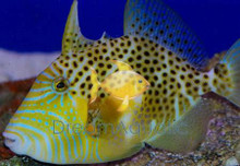 Gold Heart Trigger - Balistes forcipitis - Blue Dot Trigger - Gold Heart Triggerfish