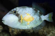 Pineapple Trigger - Pseudobalistes flavimarginatus - Pineapple Triggerfish