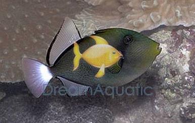 Pinktail Trigger Fish - Melichthys vidua - Pink Tail Trigger - Hawaii Triggerfish