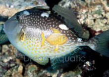 Starry Trigger - Abalistes stellatus - Starry Triggerfish