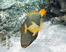 Undulate Trigger Fish - Balistapus undulatus - Orangelined - Orangetailed - Orange-Lined Triggerfish