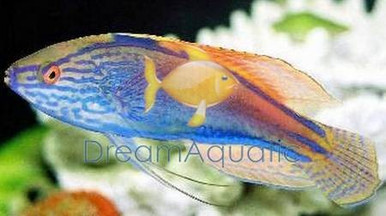Blue Head Fairy Wrasse - Cirrhilabrus cyanopleura - Purplehead Parrotfish - Yellowflanked Fairy Wrasse