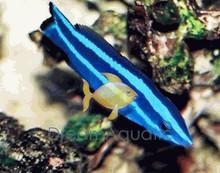 Four Line Cleaner Wrasse - Larabicus quadrilineatus - Red Sea Cleaner Wrasse