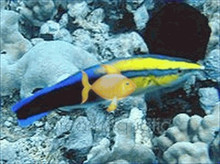 Golden Cleaner Wrasse (Hawaii) - Labroides phthirophagus - Cleaner Royal - Hawaiian Cleaner Wrasse