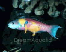 Mexican Rainbow / Rock Wrasse - Thalassoma lucasanum - Cortez Rainbow - Lollipop - Mexican Rainbow Wrasse
