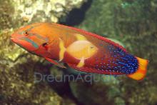 Red Coris Wrasse (Adult) - Coris gaimard - Yellowtail Coris - Red Coris