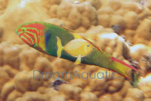 Sunset Wrasse - Thalassoma lutescens male - Banana Wrasse - Yellow Moon Wrasse