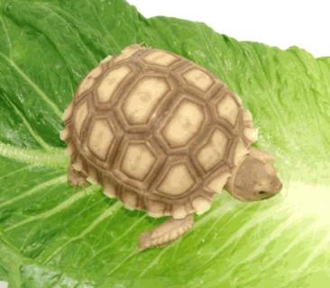Baby Sulcata Tortoises - Temp Sexed Female