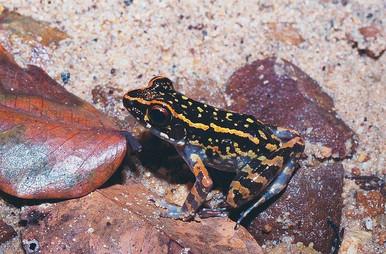 Fire Frog - Rana signata