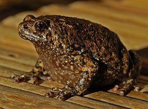 Narrow Mouth Frog - Kaloula rigida