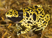 Poison Banded Frog - Dendrobates leucomelas