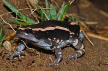 Red Black Walking Frog - Phrynomantis bifasciatus