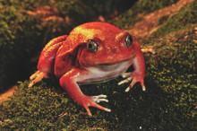 Tomato Frog - Dyscophus antongilli