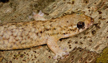 Fish Scale Gecko - Geckolepsis maculata - Golden Fish Scaled Gecko