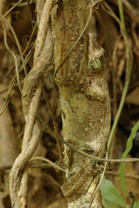 Leaf-Tail Mossy Gecko - Uroplatus sikorae