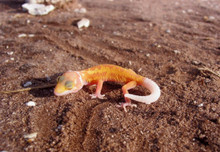 Leopard Leucistic Babies Gecko - Eublepharis macularius