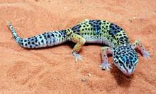 Leopard Normal Babies Gecko - Eublepharis macularius