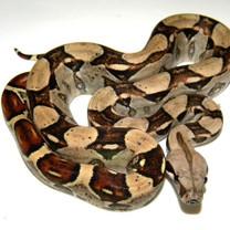 Colombian Boa - Boa constrictor