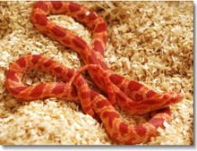 Blood Cornsnake - Elphae guttata guttata