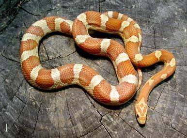Crimson Cornsnake - Elphae guttata guttata