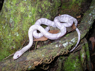 Ghost Cornsnake - Elphae guttata guttata