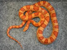 Hypo Cornsnake - Elphae guttata guttata