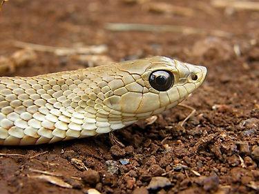 Madagascar Golden Hognose Snake - Leioheterodon madagascariensis - Heterodon