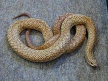 Madagascar Speckled Hognose Snake - Leioheterodon madagascariensis - Heterodon