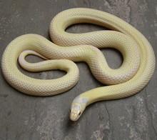 Albino Banana Kingsnake - Lampropeltis getula californiae