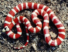 Arizona Mountain Kingsnake - Lampropeltis getula californiae
