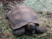 Burmese Brown Mountain Tortoise (Adult) - Manouria emys emys - Six Legged Tortoise