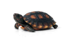 Cherry Head Red Foot Tortoises - Geochelone carbonaria