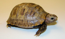 Elongated Tortoises - Inditestudo elongata