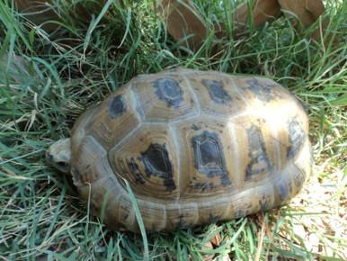 Elongated Tortoises (Adult) - Inditestudo elongata