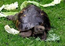 Greek Tortoises (Adult ) - Testudo graeca ibera