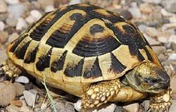 Hermans Tortoises - Testudo hermanni