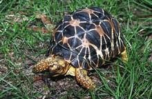 Indian Star Tortoises (Adult) - Geochelone Elegans