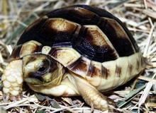 Marginated Tortoises - Testudo marginata