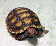 Red Footed Tortoises - Geochelone carbonaria
