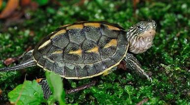 Chinese Golden Thread Turtles - Ocadia sinensis - Chinese Stripe Necked Turtle