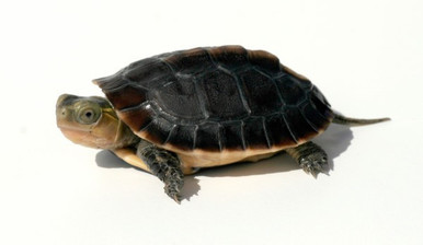 Chinese Golden Box Turtles - Cistoclemmys flavomarginata - Chinese Golden Turtles